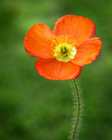 Poppy Perfection